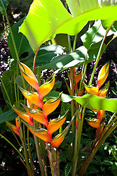 One of many different varieties of heliconia that thread the trails of Hawaiian Tropical Botanical Garden, on scenic loop of Highway 19, north of Hilo, and on Onomea Bay.