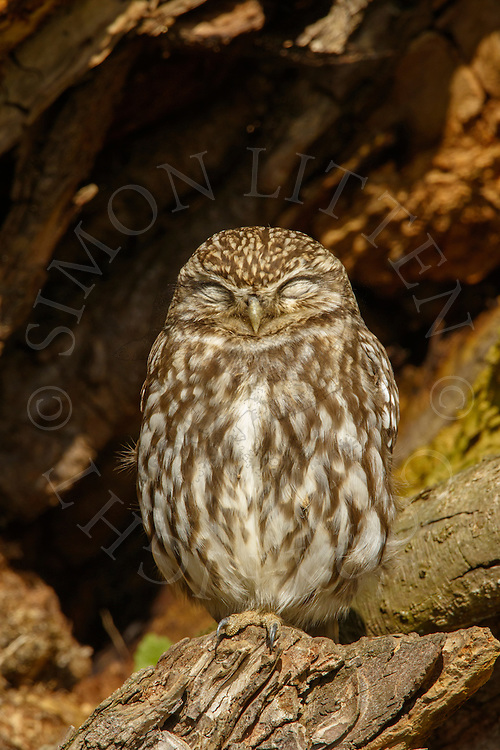 Little Owl (Athene noctua) adult, sleeping in dead tree, Norfolk, UK.