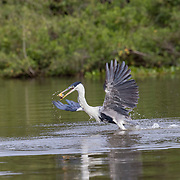 Cocoi Heron taking off from water with fish in mouth