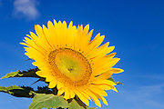 Flowering sunflower in morning sun near Ryeford, Queensland, Australia