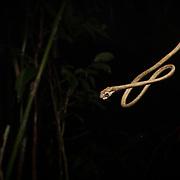 Blunt-headed Slug-eating Snake (Aplopeltura boa) in Krabi, Thailand