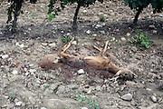 dead decomposing deer in a vineyard