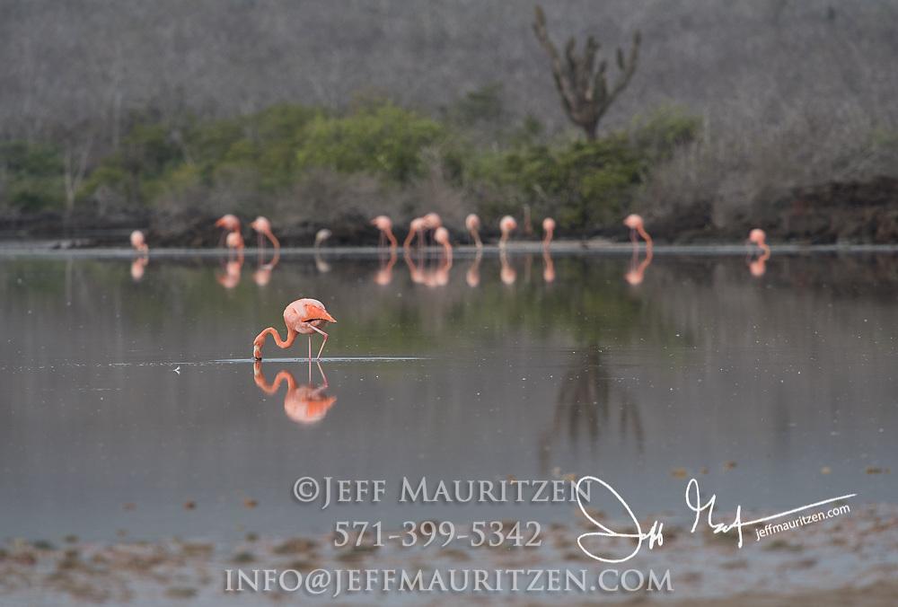 American flamingos feeds in a brackish lagoon on Floreana island in the Galapagos archipelago of Ecuador.
