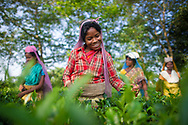 Workers picking tea-Nepal Darjeeling Tea garden.