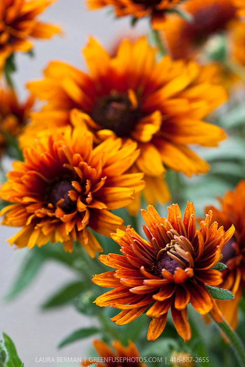 "Cherokee Sunset Gloriosa Daisies, (Rudbeckia hirta 'Cherokee Sunset'). Double and semi-double 3-4"" flowers in 'sunset' shades of yellow, orange, red, bronze, russet and mahogany; some bicolor.  2002 All America Winner.  A beautiful cut flower or border plant. 16-20"" high. The plants self-seed readily."