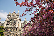 Trees bloom at the Cathedral of Notre Dame in Paris, France.