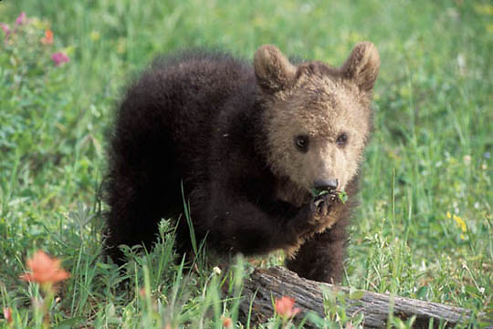 Grizzly Bear, (Ursus horribilis) Cub in wildflowers. Spring. Montana. Captive Animal.