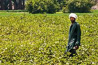 An Egyptian man wearing a green jellabiya and white turban harvests okra in Luxor