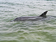 A friendly wild bottlenose dolphin (Tursiops truncatus) visits Koombana Bay, off of Koombana Beach at the town of Bunbury, Western Australia.