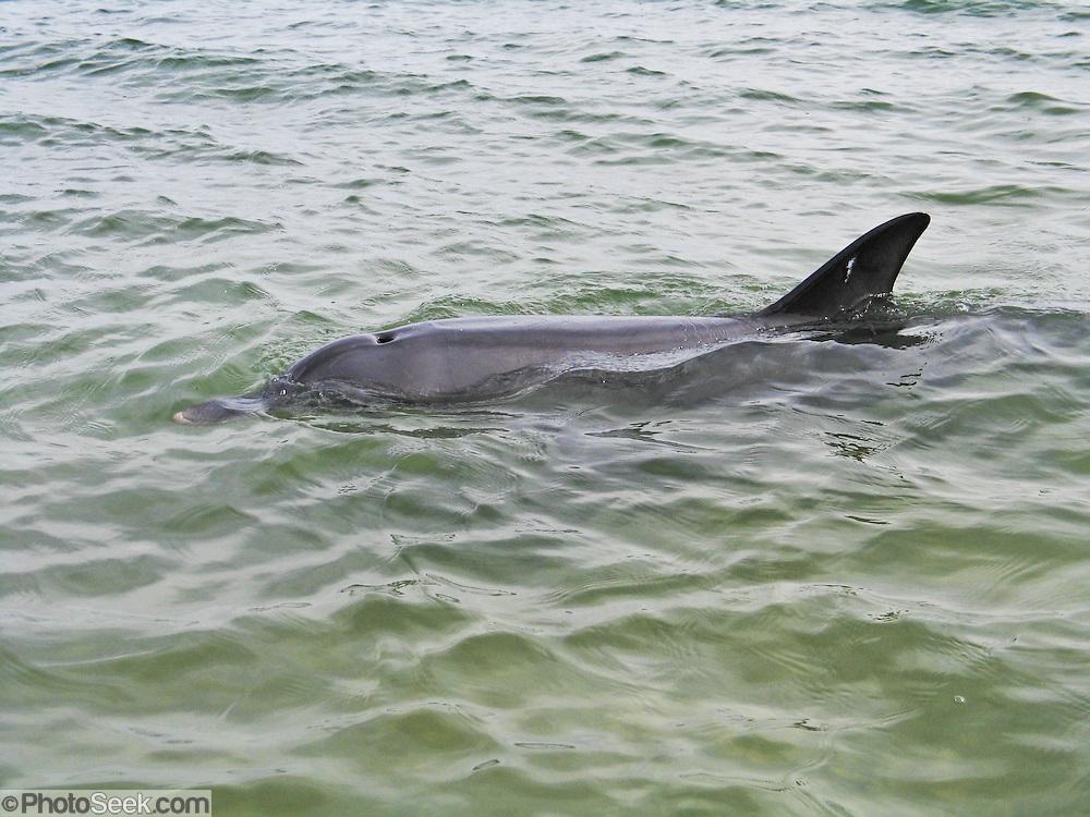 A friendly wild bottlenose dolphin (Tursiops truncatus) visits Koombana Bay, off of Koombana Beach at the town of Bunbury, Western Australia.