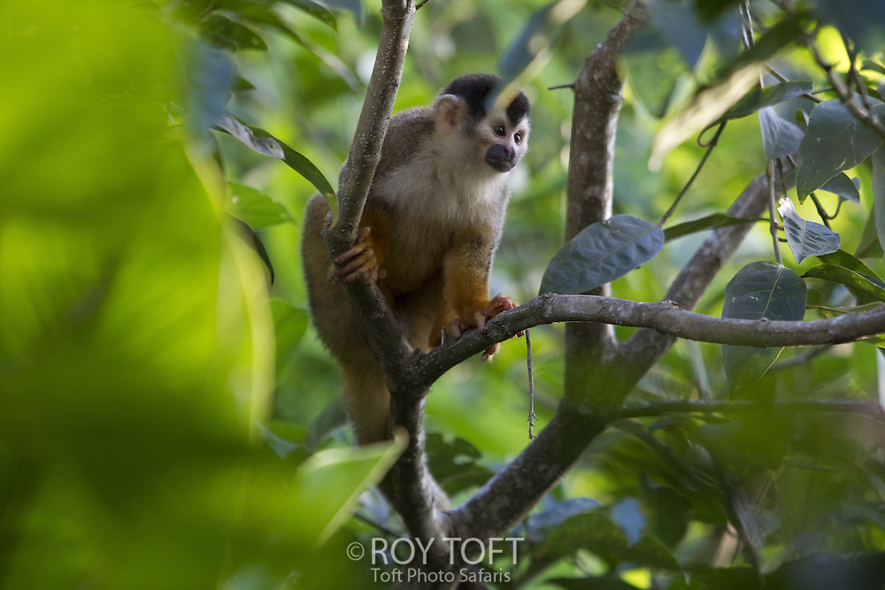 Central American squirrel monkey perched on a limb, Osa Peninsula, Costa Rica