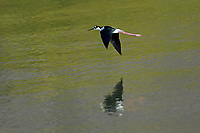 Black-necked Stilt (Himantopus mexicanus) in flight over Lake Chapala, Jocotopec, Jalisco, Mexico