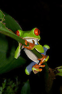 A Red-eyed Tree Frog, Agalychnis callidryas, climbing a plant in Costa Rica