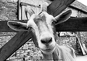 Black and white close up on the perplexed face of a goat stuck by its horns in Farmyard Gate, Cornwall, UK