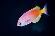 Callanthias australis (Northern splendid perch)