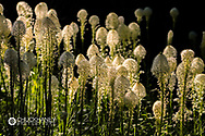 Beargrass bloom in Glacier National Park, Montana, USA