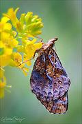 Meadow Fritillary butterfly (Boloria bellona)