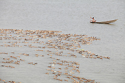 October 23, 2016 - Dhaka, Bangladesh - A duck farmer herds his flock of domestic ducks on a river at Dhaka, Bangladesh, October 23, 2016. Duck farming is very popular and a lucrative business. People have found duck farming to be a way of self-employment and becoming solvent. (Credit Image: © Suvra Kanti Das via ZUMA Wire)