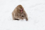 Snow monkey, juvenile in snow.