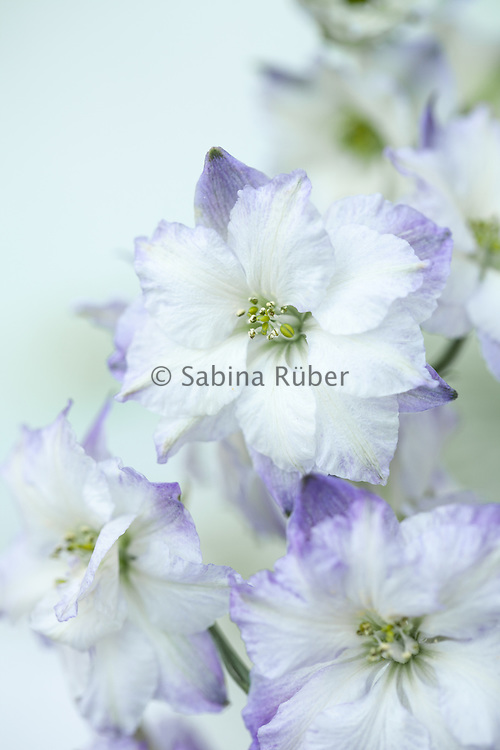 Delphinium consolida 'Frosted Skies' - branching larkspur