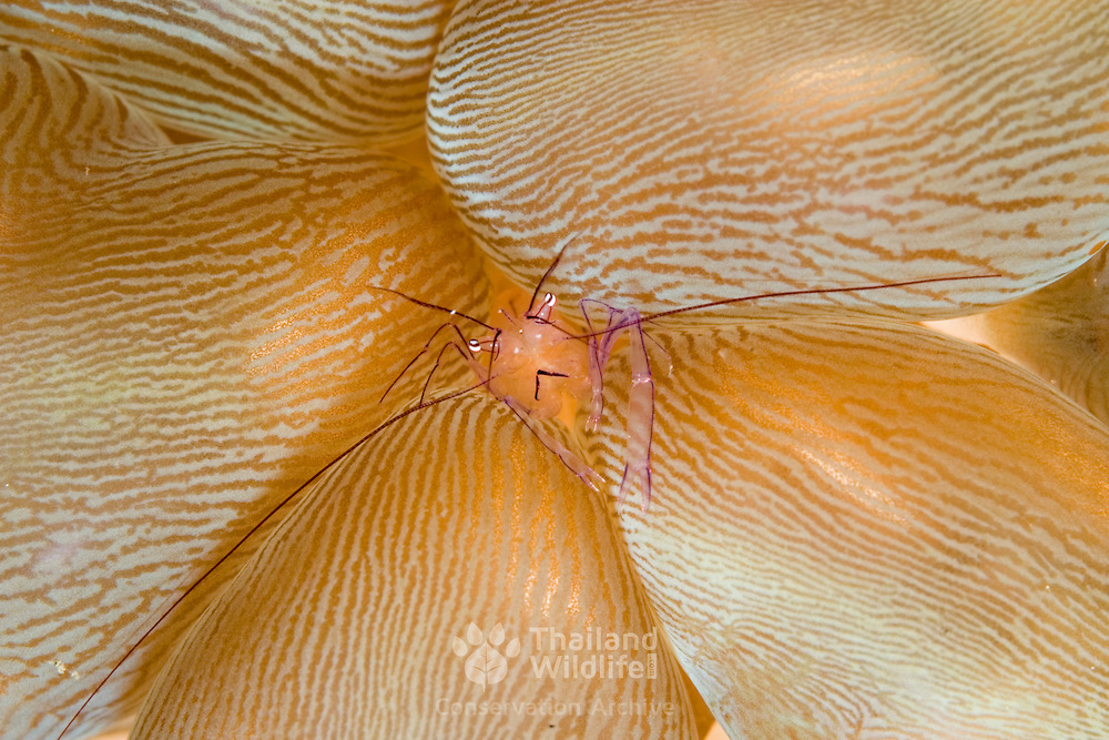 Bubble coral shrimp, vir philippinensis, hiding in its host bubble coral at Nudi Falls, Lembeh Straits, Indonesia.