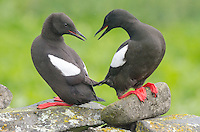 Black Guillemot at Vigur Island, Iceland.