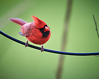 Male Northern Cardinal. Image taken with a Nikon D5 camera and 600 mm f/4 VR lens (ISO 1600, 600 mm, f/5.6, 1/400 sec).