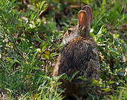 Eastern Cottontail rabbit using the thick underbrush and briers for cover from preadators.