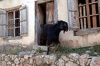 Goat coming out of a house on rural road in Southern Turkey.