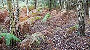 Bracken Pteridium fern leaves autumn colours on heathland at Sutton Heath, Suffolk, England