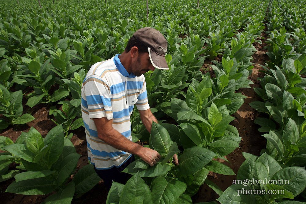 (aev) cubacigars02a------Pinar del Rio, Cuba-----3.2.07-----<br /> Jesus Menendez, 39, tends to tobacco plants in a farm in Cuba's Pinar del Rio, known for it's cigar plantations.<br /> Staff Photo/Angel Valentin