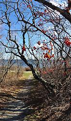 Bittersweet along Maine trail