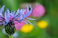 Centaurea montana; Mountain cornflower; Liechtenstein