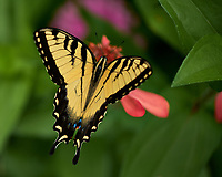 Tiger Swallowtail Butterfly. Image taken with a Fuji X-H1 camera and 80 mm f/2.8 macro lens (ISO 200, 80 mm, f/2.8, 1/640 sec).