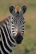 Zebra portrait.  Maasai Mara, Kenya.