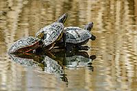 Painted Turtles [Chrysemys picta] trio sunning; Fountain Creek Regional Park, Fountain, Colorado