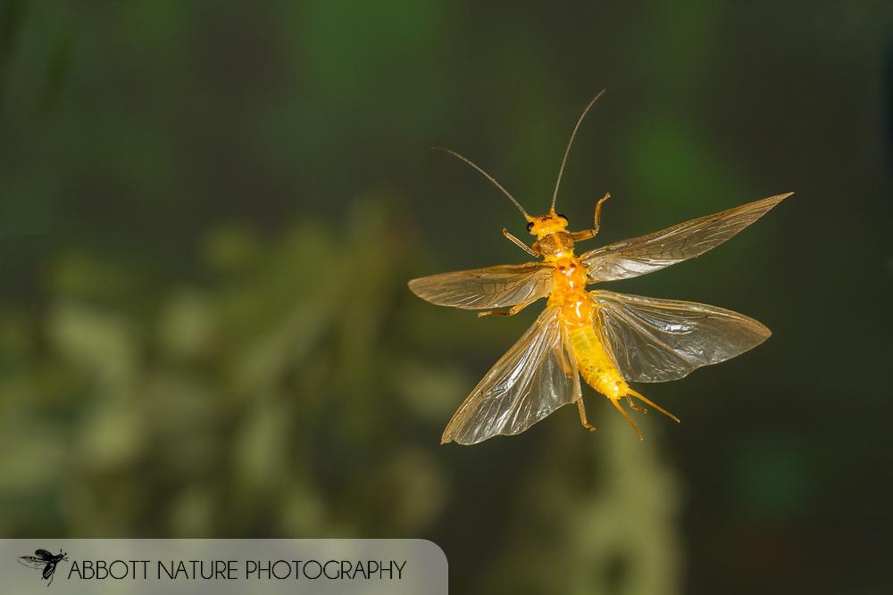 Stonefly (Perlesta sp.) flying<br /> ALABAMA: Tuscaloosa Co.<br /> Tulip Tree Springs off Echola Rd.; Elrod<br /> 30-May-2016<br /> J.C. Abbott #2823 &amp; K.K. Abbott
