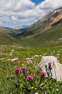Wildflowers in an alpine valley of Lincoln Creek near Aspen, CO