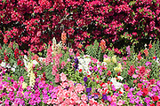 Red bouganvilla bush, petunias and other and flowers in bloom