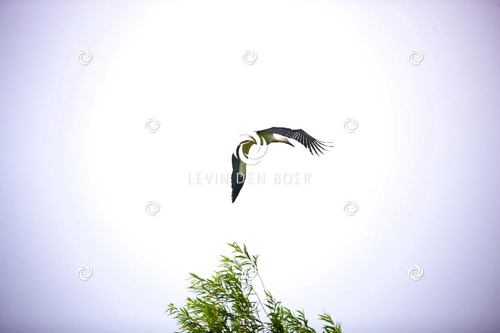HURWENEN - De ooievaars maken hun ochtend vlucht bij de welbekende elektriciteitsmast. FOTO LEVIN DEN BOER - PERSFOTO.NU