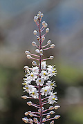 Sea squill (Urginea maritima) flowers. Photographed in Israel, in September.