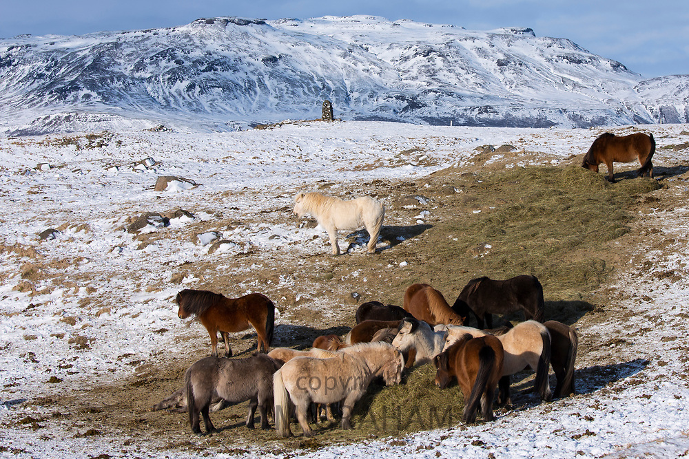 Herd of Icelandic ponies grazing in glacial landscape of South Iceland with Uthlioarhraun mountains behind