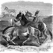 Tibetan Wild Ass or Kiang. Engraving published London 1893.