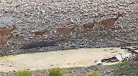 Spotted Deer, Axis axis, Bardiya National Park, Nepal