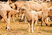 "05 JUNE 2011 - GREER, AZ: Shorn sheep in a corral at the Sheep Springs Sheep Co summer shearing camp northwest of Greer. Mark Pedersen (CQ), of Sheep Springs Sheep Co, said they drove about 2,000 sheep from Chandler up to their summer pastures near Greer. They were supposed to start shearing on Friday, but didn't start till Friday because of the Wallow Fire. They also run cattle on land southeast of the sheep pasture, closer to Greer. Pedersen said they were prepared to move both the cattle and the sheep if they had to. He said the biggest problem with the smoke was that it bothered the sheeps' lungs much the same way it bother people's lungs. The fire grew to more than 180,000 acres by Sunday with zero containment. A ""Type I"" incident command team has taken command of the fire.  PHOTO BY JACK KURTZ"
