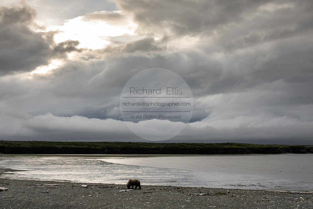 A brown bear adult boar walks along the beach as a storm approaches at the McNeil River State Game Sanctuary on the Kenai Peninsula, Alaska. The remote site is accessed only with a special permit and is the world's largest seasonal population of brown bears in their natural environment.