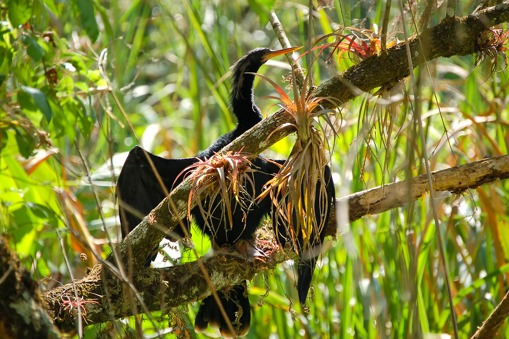 Because anhingas don't have the oil glands found in other aquatic birds like ducks, gulls, swans, etc, when they come out of the water, they will need to dry their wings in order to fly. The advantage of not having this seemingly important oil so essential to buoyancy is that when underwater, the anhinga becomes an extremely fast and agile swimmer and a very efficient fish hunter. Throughout the Gulf Coast, this is a very typical sight: an anhinga perched above water,  wings spread drying in the wind and heat. This adult male was photographed in the Six-mile Cypress Slough in Fort Myers, Florida.