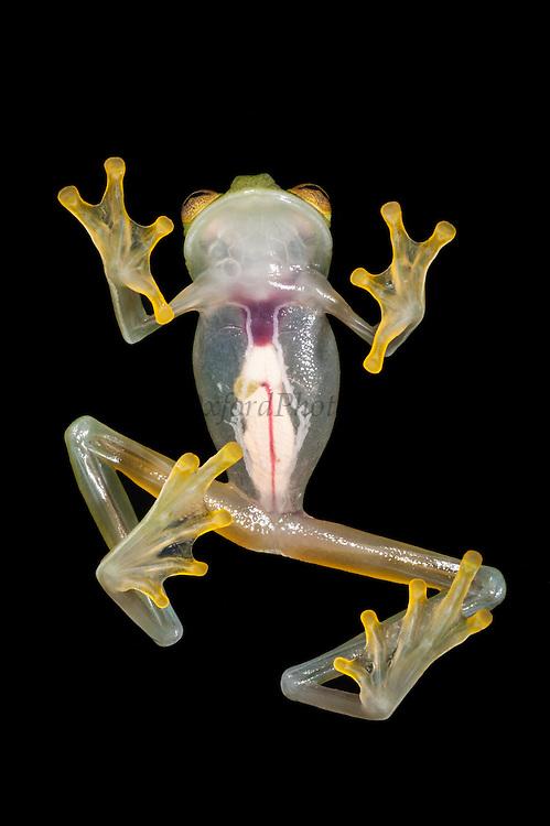 Fleischmann's Glass Frog(Hyalinobatrachium fleischmanni) CAPTIVE<br /> Chocó Region of northwest Ecuador on Colombian Border<br /> ECUADOR. South America<br /> Nocturnal and Arboreal.<br /> RANGE: Belize, Colombia, Costa Rica, Ecuador, El Salvador, Guatemala, Guyana, Honduras, Mexico, Nicaragua, Panama, Suriname, Venezuela