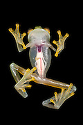 Fleischmann's Glass Frog(Hyalinobatrachium fleischmanni) CAPTIVE<br />