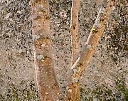 Alder and granite boulder, Yosemite Valley, Yosemite National Park,  California